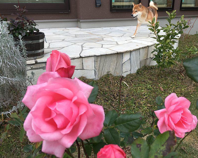 冬なのにバラがずっと咲いているのはなぜ?