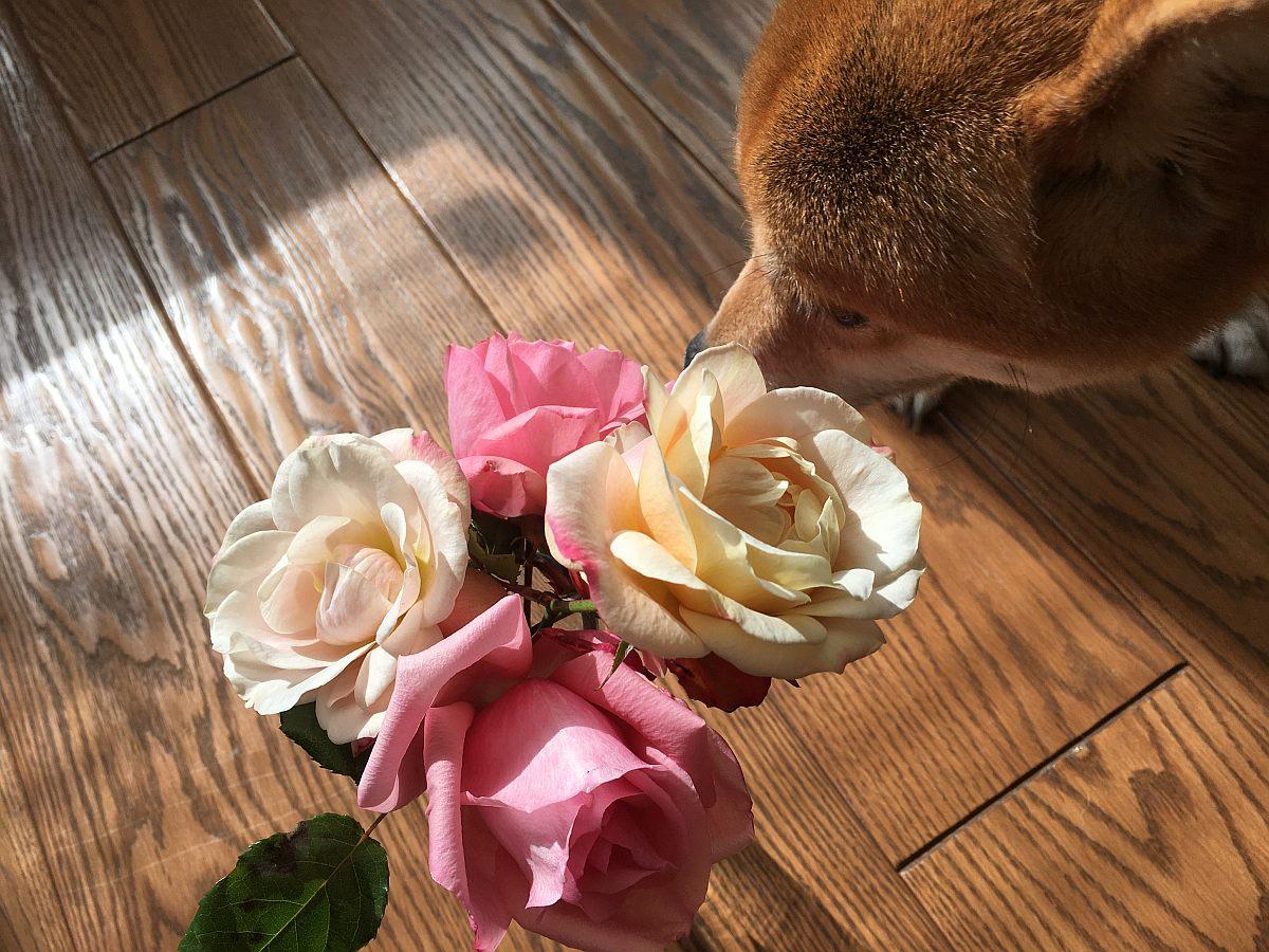 初めてバラの冬剪定をやってみた!